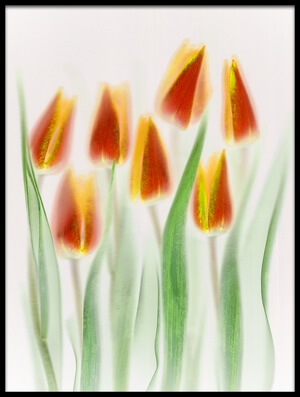 Buy this art print titled Red and Yellow Tulips by the artist Brian Haslam