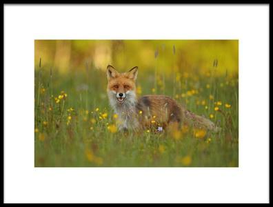 Art print titled Red Fox by the artist Assaf Gavra