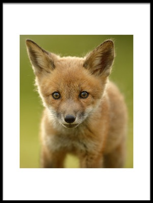 Buy this art print titled Red Fox Cub by the artist Assaf Gavra