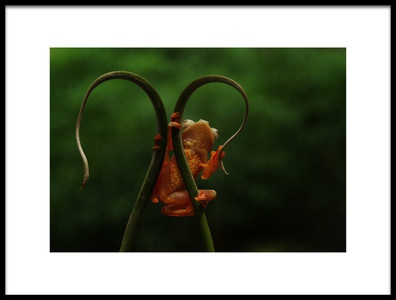 Art print titled Red Frog by the artist Abdul Gapur Dayak