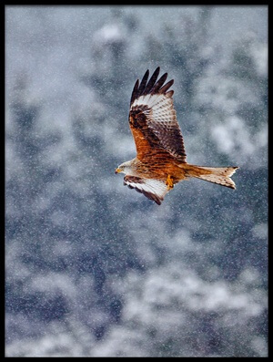 Buy this art print titled Red Kite In the Snow Storm by the artist Joseba Zabala