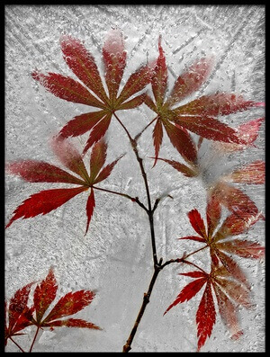 Art print titled Red Maple by the artist Secundino Losada