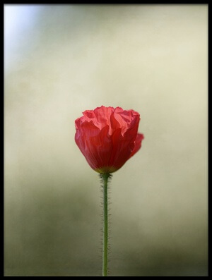 Buy this art print titled Red Poppy by the artist Lotte Grønkjær