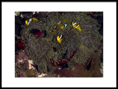 Art print titled Red Sea Anemone by the artist Ilan Ben Tov
