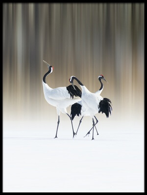 Buy this art print titled Red-crested White Cranes by the artist Ikuo Iga