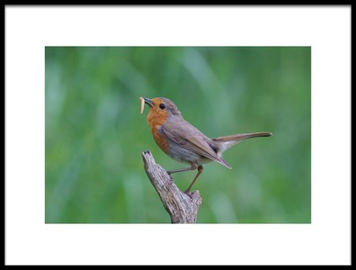 Art print titled Robin Redbreast by the artist Ray Cooper