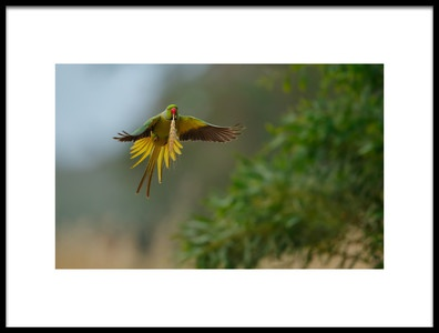 Art print titled Rose Ring Parakeet In Flight by the artist Assaf Gavra