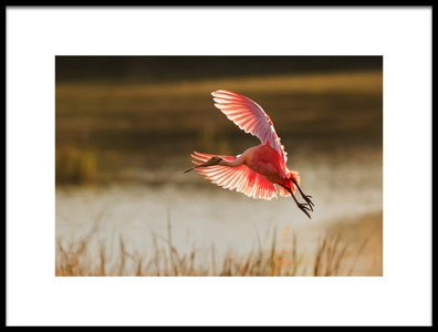 Art print titled Roseate Spoonbill by the artist Aijing H.