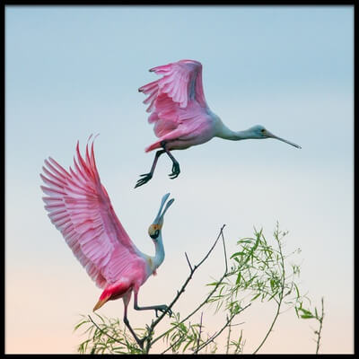 Buy this art print titled Rosy Pair (Roseate Spoonbills) by the artist C. Mei