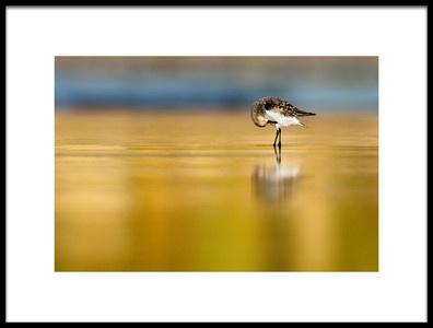 Art print titled Sanderling Tidiness by the artist Mario Suárez