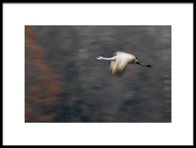 Art print titled Sandhill Crane Flying by the artist Young Feng