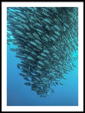 Art print titled Schooling Jackfishes by the artist Henry Jager