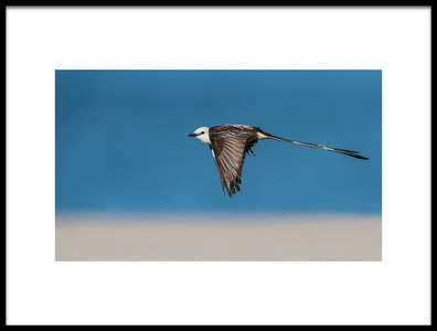 Art print titled Scissortailed Flycatcher by the artist sheila xu