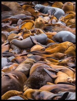 Art print titled Sea of Lions by the artist Francois Roughol