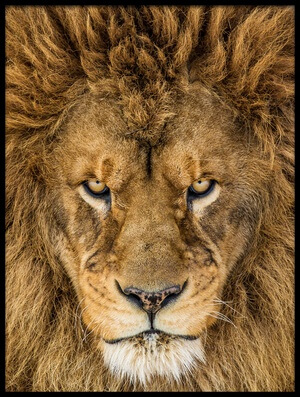 Art print titled Serious Lion by the artist Mike Centioli