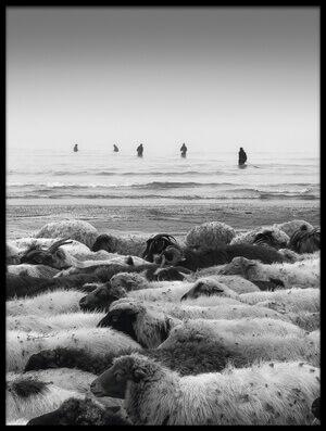 Art print titled Sheep Beach by the artist Saman Khoshamuz