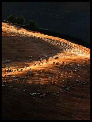 Buy this art print titled Sheep Hill I by the artist Massimo Della Latta