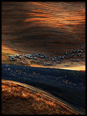 Buy this art print titled Sheep Hill III by the artist Massimo Della Latta