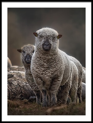 Buy this art print titled Sheeps by the artist Peter Wagner