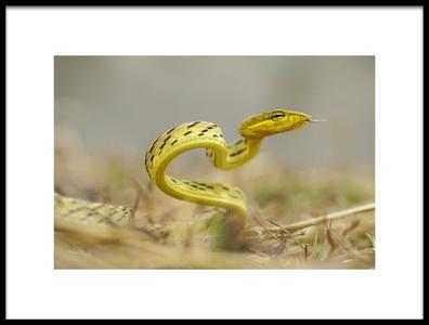 Art print titled Snake In Vietnam by the artist Đào Tấn Phát