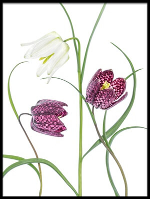 Buy this art print titled Snakes Head Fritillary by the artist Mandy Disher