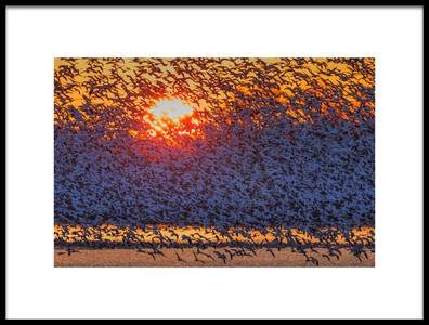 Art print titled Snow Geese Flying In Sunrise by the artist David Hua