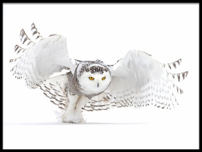 Art print titled Snowy Owl - Jazz Wings II by the artist Jim Cumming