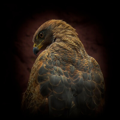 Buy this art print titled Somebody Watch Me-Savanna Hawk by the artist Ferdinando valverde