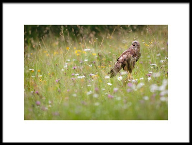 Art print titled Spring Buzzard by the artist Mario Suárez