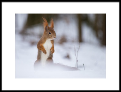 Art print titled Squirrel by the artist Robert Adamec