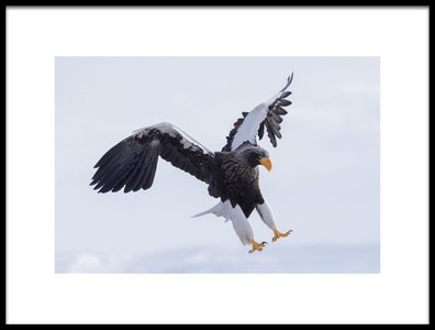 Art print titled Stellers Sea Eagle by the artist Raymond Ren Rong Liu