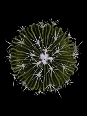 Art print titled Stenocactus by the artist Victor Mozqueda