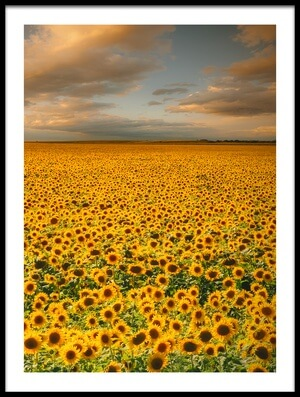 Buy this art print titled Sunflowers by the artist Piotr Krol (Bax)