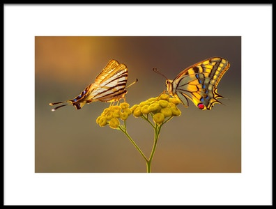Buy this art print titled Swallowtail Beauty Contest by the artist Petar Sabol