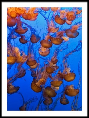 Buy this art print titled Swarm of Jellyfish by the artist Fred Walker