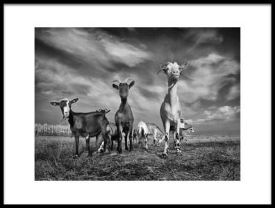 Buy this art print titled The Goats by the artist Novica Stankovic