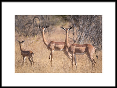 Art print titled The Graceful Gerenuk by the artist Jeffrey C. Sink