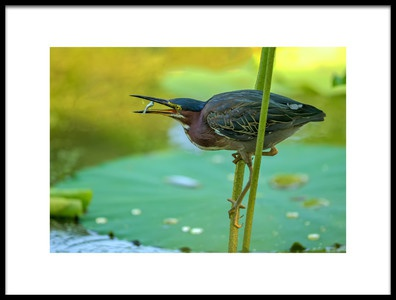 Art print titled The Green Heron by the artist David Hua