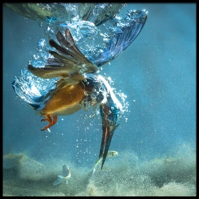 Buy this art print titled The Kingfisher by the artist Petar Sabol