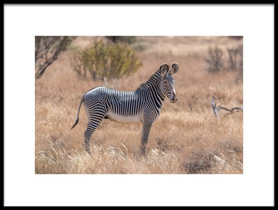Art print titled The Magnificent Grevys Zebra by the artist Jeffrey C. Sink
