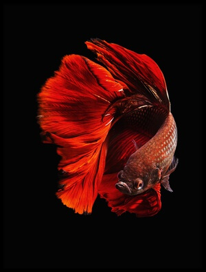 Buy this art print titled The Red by the artist Andi Halil