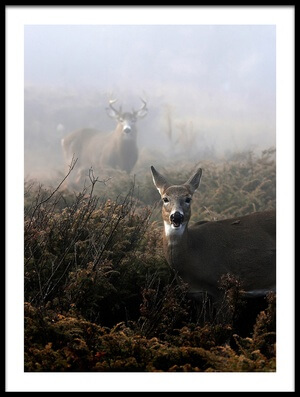 Buy this art print titled The Rut In On - White-tailed Deer by the artist Jim Cumming