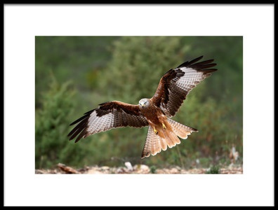 Art print titled The Wings of the Red Kite by the artist Nicolás Merino