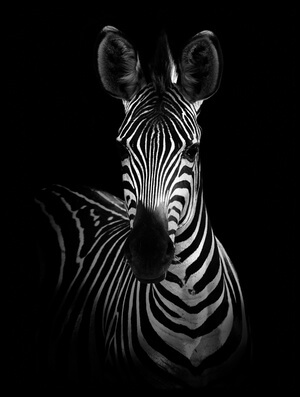 Art print titled The Zebra by the artist WildPhotoArt