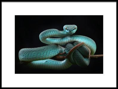 Buy this art print titled Trimeresurus Insularis Blue by the artist Wel Nofri