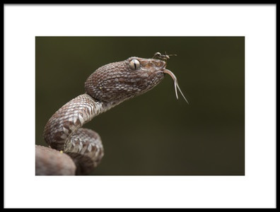 Art print titled Trimeresurus Purpureomaculatus and Formicidae Ant by the artist Thor Hakonsen