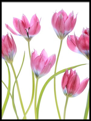 Buy this art print titled Tulip Blush III by the artist Mandy Disher