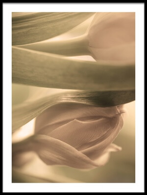 Buy this art print titled Tulips by the artist Allan Wallberg