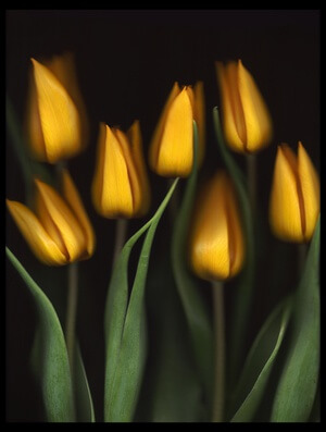 Buy this art print titled Tulips by the artist Brian Haslam