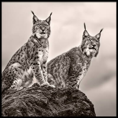 Art print titled Two Lynx On Rock by the artist Xavier Ortega
